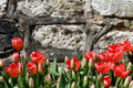 Tulip wall background beautiful red tulips Royalty Free Stock Photo