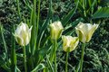 Tulip white-green colors Royalty Free Stock Photo