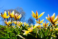 Tulipa tarda late tulip tarda tulip in garden with blue sky background the yellow flowers have white and light pink tips Royalty Free Stock Images