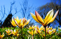 Tulipa tarda late tulip tarda tulip in garden with blue sky background the yellow flowers have white and light pink tips Stock Photography