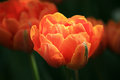 Tulipe orange Image libre de droits