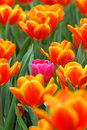 Tulipe rose dans l'orange Image stock