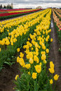 Tulipes jaunes vives Image stock