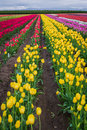 Tulipes jaunes vives Images stock