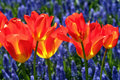 Tulipes rouges dans un jardin Photos stock