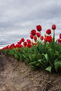 Tulipes rouges vives Photos libres de droits
