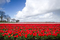 Tulipes sur le champ Photo libre de droits