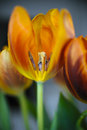 Tulipes vives Photos stock