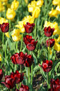 Tulips Royalty Free Stock Photos