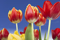 Tulips Against Blue Sky Royalty Free Stock Photos