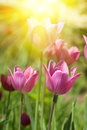 Tulips against the sun s rays garden Royalty Free Stock Image