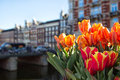 Tulips in Amsterdam Royalty Free Stock Photo
