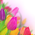 Tulips background Stock Image