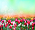 Tulips background Stock Photos