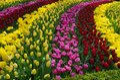 Tulips beautiful colorful dutch at keukenhof garden in the netherlands Stock Photo