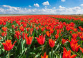 Tulips. Beautiful colorful red flowers in the morning in spring , vibrant floral background, flower fields in Netherlands. Royalty Free Stock Photo