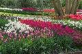 Tulips beautiful dutch tulip fields at keukenhof garden in the netherlands Stock Photos