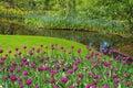 Tulips beautiful purple dutch at keukenhof garden in the netherlands Stock Photo