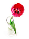 Tulips beautiful in a vase isolated on white background Stock Image