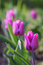 Tulips Blooming in the Garden Royalty Free Stock Photo