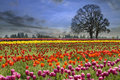 Tulips blooming in spring season colorful tulip flowers field at one foggy morning Stock Photos