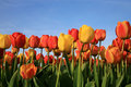 Tulips and blue sky Stock Photos