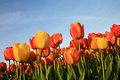 Tulips and blue sky Royalty Free Stock Photography