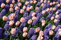 Tulips and bluebells Royalty Free Stock Images
