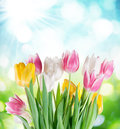 Tulips on a blur background. Royalty Free Stock Images