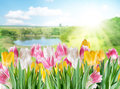 Tulips on a blur background. Royalty Free Stock Photos