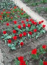 Tulips in a botanical garden plantation of scarlet Royalty Free Stock Photos