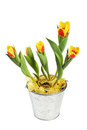 Tulips in a bucket Stock Photography