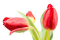 Tulips buds red white background Stock Photo