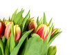 Tulips bunch of isolated on pure white Stock Images
