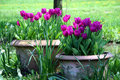 Tulips in the ceramics pot Royalty Free Stock Photo