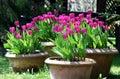 Tulips in the ceramics pot Stock Photo