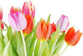 Tulips close up Stock Photography