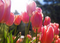 Tulips closeup Royalty Free Stock Image