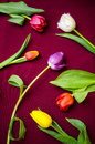 Tulips on cloth colorful a dark red Royalty Free Stock Images