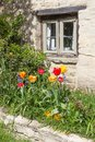 Tulips in a cottage garden red and yellow outside window the picturesque village of bibury the cotswolds uk Royalty Free Stock Photography