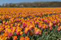 Tulips culture in north holland Stock Photos
