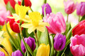 Tulips and daffodils Royalty Free Stock Photo