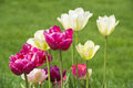 Tulips with different colors and different high Stock Photos