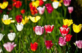 Tulips in different colors in spring Stock Image