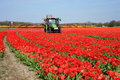 Tulips farm in Netherlands. Stock Photo