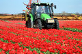 Tulips farm in Netherlands. Royalty Free Stock Photography