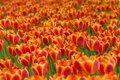 Tulips field Stock Photography
