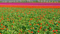 Tulips on a field Royalty Free Stock Photo