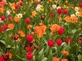 Tulips Field In Keukenhof  Gar...