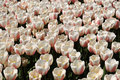 Tulips field with plethora number of light pink on bollenstreek in netherlands Royalty Free Stock Image